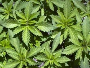 folhas-de-maconha